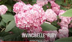 Peonies And Hydrangeas, Plant Species, Rose, Garden, Flowers, Plants, Peony, Pink, Garten