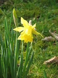 Narcissus hispanicus Gouan - W