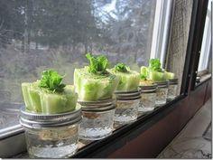 Re-growing Lettuce