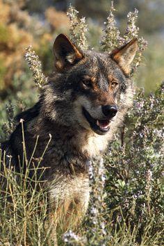 Iberian Wolf, Canis lupus signatus | This sub-species of the… | Flickr