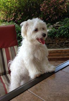 Maltese ~ Puppy Love ~ Bentley Bear