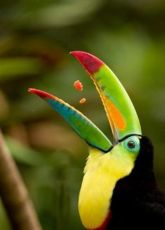 fairy-wren:  keel-billed toucan (photo by visuals unlimited)