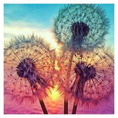 5D DIY Diamond Dandelion Beautiful Love Pictures, Pretty Images, Most Beautiful Flowers, Beautiful Things, Love Photos, Prettiest Flowers, Dandelions, Dandelion Wallpaper, Dandelion Painting