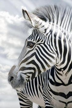 There are three species of zebras from Africa: the plains zebra, the Grévy's zebra and the mountain zebra. Zebras are Old World horses and live in groups, known as 'harems', generally of one stallion with up to six mares and their foals. Vida Animal, Mundo Animal, My Animal, Beautiful Creatures, Animals Beautiful, Cute Animals, Baby Animals, Beautiful Eyes, Zebras