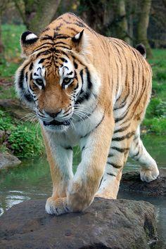 Banham Zoo: Siberian Tiger - http://www.1pic4u.com/tierbilder/tiger/banham-zoo-siberian-tiger-2/
