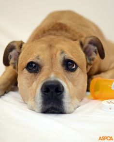 March is National Animal Poison Prevention Month, and we'd like to kick it off by sharing our list of toxins most commonly ingested by pets—and reported to the ASPCA Animal Poison Control Center (APCC)—in See the full list here! National Animal, Dog Safety, Safety Tips, Pet Safe, Pet Health, Dog Care, Your Pet, Animals, Emergency Call
