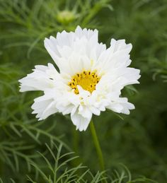 Cosmos bipinnatus psyche white seeds from green things 4.7.15, bloom 12-14 wks from sowing Amazing Flowers, White Flowers, Cut Flowers, Moon Garden, Side Garden, Zone 4 Perennials, Colorful Garden, Green Garden, Flower Seeds Online