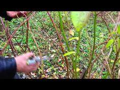 Cięcie borówki amerykańskiej. Pruning American blueberries. - YouTube Blueberry, Pergola, American, Plants, Youtube, Grill, Gardening, Sodas, Compost