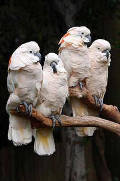 Moluccan cockatoo [salmon-crested cockatoo] (VU)
