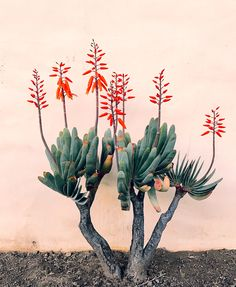 Outdoor Design Inspiration from Ojai Fan Aloe (plicatilis) at Jungalow Agaves, Cactus Y Suculentas, Cacti And Succulents, Weekend Is Over, Garden Inspiration, Design Inspiration, Indoor Plants, Mother Nature, Nature Nature