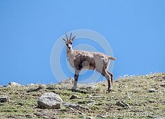 A chamois in the mountains Gran Paradiso park in Piemonte - Italy