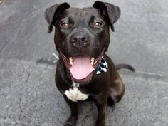 TO BE DESTROYED 9/7/14 Manhattan Center -P  My name is ARIELLA. My Animal ID # is A1012510. I am a female black and brown pit bull and labrador retr mix. The shelter thinks I am about 1 YEAR 6 MONTHS old.  I came in the shelter as a STRAY on 08/31/2014 from NY 10467, owner surrender reason stated was ABANDON.