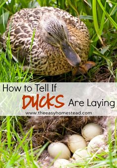 How To Tell If Ducks Are Laying | The Easy Homestead (.com)