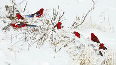 Crimson Rosellas in the snow.