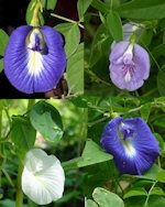 Butterfly pea is a flowering flant which bears blue and white coloured flowers. Flax Flowers, Small Flowers, Colorful Flowers, Butterfly Pea Flower Tea, Butterfly Plants, Blue Butterfly, Indoor Flowering Plants, Ornamental Plants, Creepers Plants