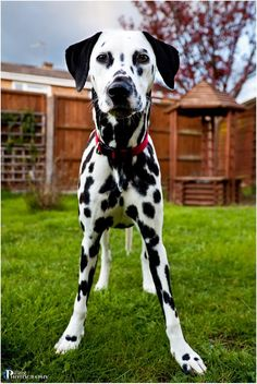 dalmatians on the farm | Dalmatian Playing