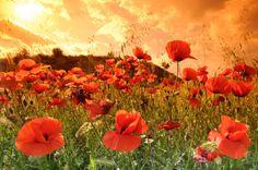 Orange and Red, Poppy Field, Spain photo by cuellar