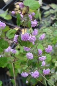 Violfrøstjerne, dobbelt. Thalictrum Delavayi 'Hewitt's Double' surbundsbed, formiddagssol, halvskygge, juni-august, plantes ud så frøne når en frost periode, 1.2 m høj 0,6 bred, hårfør.