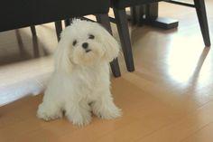 Teddy Bear Cut -Maltese perfect length of hair.
