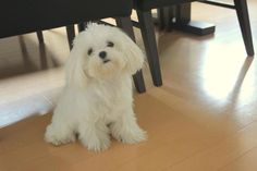 Teddy Bear Cut -Maltese perfect length of hair.