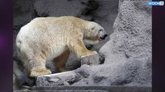 ARTURA- SADDEST POLAR BEAR ON EARTH,STUCK IN ARGENTINA ZOO!!ANIMALS ARE NOT FREAK SHOWS,THEY'RE WILD ANIMALS (these animals don't live long in captivity,sad for them)