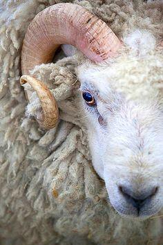 AstroSpirit / Aries ♈ / Fire / Ram / Belier / by Stuart Robertson Reynolds. Farm Animals, Animals And Pets, Cute Animals, Wild Animals, Beautiful Creatures, Animals Beautiful, Zebras, Sheep Art, Sheep And Lamb
