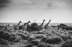 Andreas R. Mueller - Photography: Black and White - Giraffe Photography