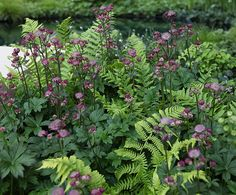 Astrantia (Sterndolde) in einem Meer aus Farnen; dies wird Frau Garten nächstes… Astrantia (star thumble) in a sea of ​​ferns; Garten will also try this out next year … Shade Garden Plants, Garden Shrubs, Garden Landscaping, Plants For Shade, Shrubs For Shade, Garden Border Plants, Shaded Garden, Cottage Garden Plants, Bonsai Garden