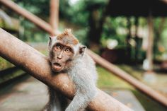 Ultimate Guide To Ubud, Bali Monkey Forest Tier Wallpaper, Animal Wallpaper, Funny Animal Pictures, Funny Animals, Cute Animals, Animals Dog, Animal Memes, Wild Animals, Animal Quotes