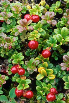 Cranberries, Denali National Park, Alaska