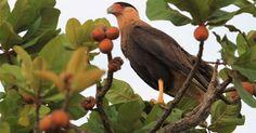 Caracara (Polyborus plancus) recorded in the Emas National Park (GO)