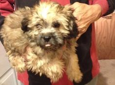 Tucker is a sweet #BrusselsGriffon mix #puppy looking for a loving family to call his own. What do you guys think? Can we can help finding the sweet pup a forever home? http://www.doggielife.com/20YP4H