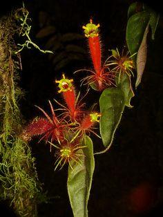 Columnea minor? Gesneriaceae