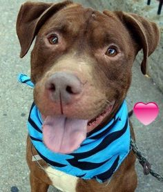 GONE 9-22-2015 --- Manhattan Center CLAREMONT – A1050838 MALE, BROWN, PIT BULL MIX, 3 yrs STRAY – STRAY WAIT, NO HOLD Reason ABANDON Intake condition UNSPECIFIE Intake Date 09/09/2015 http://nycdogs.urgentpodr.org/claremont-a1050838/