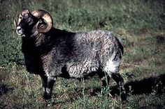 gute sheep - Google Search