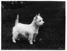 1908 West Highland White Terriers photo by Pietoro
