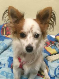 This handsome little guy has some of the best ears we've seen! He is very friendly, #papillon guy since he can be a little timid would appreciate a home with kids 7 and older. Once he gets to know you, he makes a great snuggle partner! Come by and meet him today! http://www.doggielife.com/tater-tot/dogs/XMHZXT