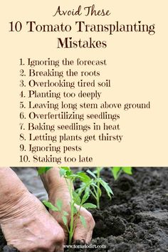 Transplanting Mistakes to Avoid When Setting Out Plants Avoid 10 mistakes when transplanting tomato seedlings and growing tomatoes. With Tomato DirtAvoid 10 mistakes when transplanting tomato seedlings and growing tomatoes. With Tomato Dirt Growing Tomatoes Indoors, Tips For Growing Tomatoes, Growing Tomato Plants, Growing Tomatoes In Containers, Grow Tomatoes, Baby Tomatoes, Cherry Tomatoes, Dried Tomatoes, Hydroponic Gardening