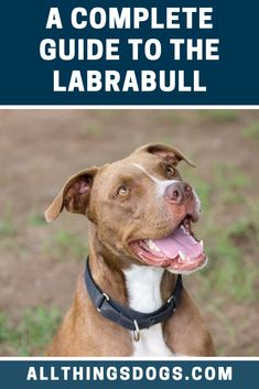 The Labrabull is an unlikely cross between a Labrador Retriever and an American Pitbull Terrier. We can't imagine a breed with parents having more opposite temperaments. Read our breed guide to learn more about this dog.  #labrabull #labradorpitbullmix #labrabullmix Pitbull Dog Breed, Pitbull Lab, Labrador Mix, Labrador Retriever Dog, Cute Pitbulls, Pit Dog, Dog Crossbreeds, American Bull, Dog Facts