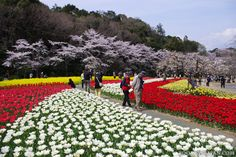 Cherry blossoms and tulips can be enjoyed at the same time in Hamamatsu Flower Park: http://zoomingjapan.com/travel/japan-spring-vacation-2014/