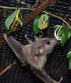 At the Bat World Sanctuary in Texas, Peekaboo the bat enjoys some honeysuckle.
