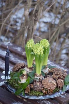 Forcing bulbs for the Christmas holidays.  Add pine cones and greenery to your potted hyacinths for a festive touch.