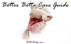 """The best """"How to take care of a Betta fish"""" guide giving you all the basics in raising a happy and healthy Betta fish!"""