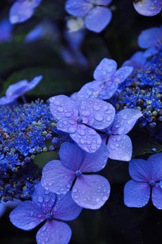 Blue Lace Hydrangeas with touch of purple and water droplets on black background