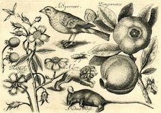 13). These are several drawings on a sheet of paper of the flora and fauna that Captain Cook brought back to Europe during the 18th century. This was one of Cook's main focuses during his first expedition (1768-1771). His collections were handed over to Joseph Banks to ensure their protection from the outside elements and to expose Europe to the natural entities other nations/territories had living there.