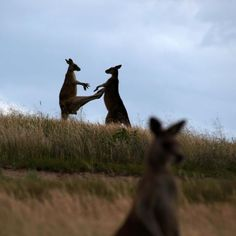 California is set to reimpose a ban on the sale and import of kangaroo products on January 1.