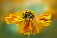 Sneezeweed | Flickr - Photo Sharing!