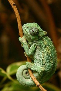 Totem. Animal. Chameleon.