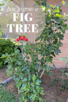 Everything you need to know to grow a fig tree in your backyard from planting to pruning to harvesting figs. Having a fig tree in your backyard is a great way to grow fresh fruit right at home. Fig Fruit Tree, Planting Fruit Trees, Dwarf Fruit Trees, Growing Fruit Trees, Potted Trees, Fig Tree, Fruit Garden, Growing Tree, Herbs Garden