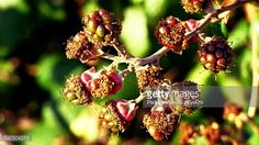 Foto de stock : Close-Up Of Blackberries Growing On Tree
